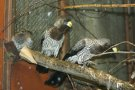 Prvoodchov spáráka hnědého/turaka šedého (Crinifer piscator)