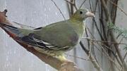 Plodožraví holubi se představují 2