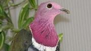 Plodožraví holubi  rodu Ptilinopus