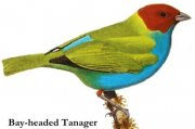 Tangara vavřínová (Tangara gyrola)