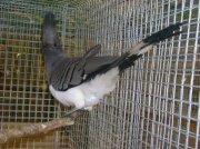 Turako bělobřichý (Corythaixoides leucogaster)