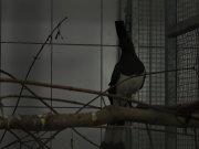 Turaco bělobřichý (Corythaixoides leucogaster)