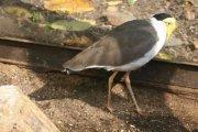 Čejka australská (Vanellus miles)
