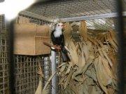 Bulbulčík bělohlavý (Hypsipetes leucocephalus)