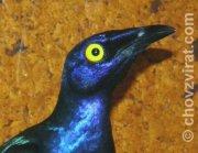 Leskoptev purpurová (Lamprotornis purpureus)