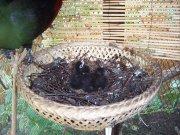 mláďata turaka chocholatého (T. persa buffoni)
