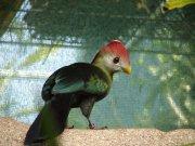 Turako červenokorunkatý (Tauraco erythrolophus)